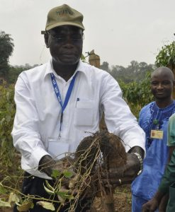 Two ware yam tubers of over 1 kg each harvested from one plant of one node vine cutting.