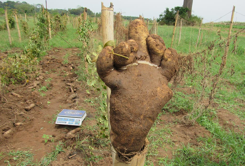 Picture of One ware yam tuber from plant issue of one node vine cutting weighing 3.2 kg with the shape of a human foot.