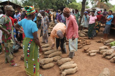 Picture of yam farmers selling bad quality yam roots