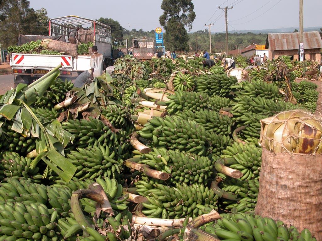 Picture of Banana harvests in rural Uganda.