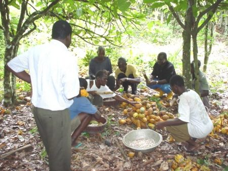 Picture of Cocoa was one of Nigeria's major cash crops in the 1960s