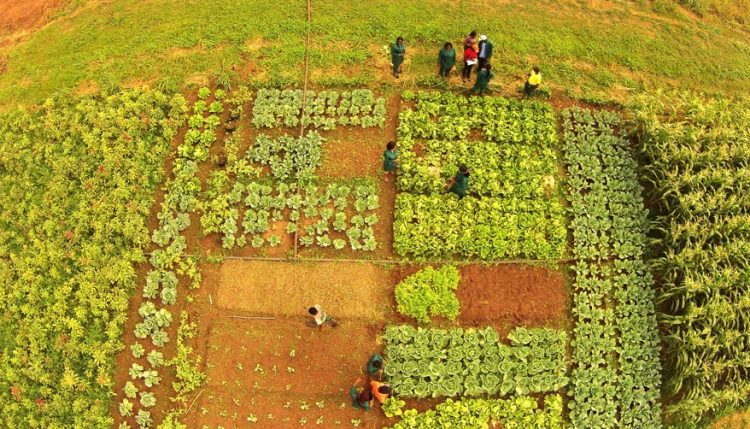 Picture of an arial shot of vegetables in a field