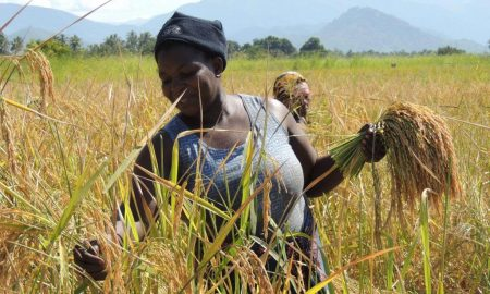 Picture of Matilda Msangila, a farmer in Mahutanga Village, Kilombero District, Tanzania, harvests salt tolerant rice variety from her paddy field