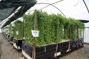 Picture of Aeroponics system at IITA.