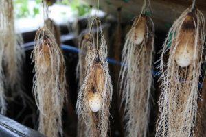 Picture of Small yam tubers growing in the aeroponics system.