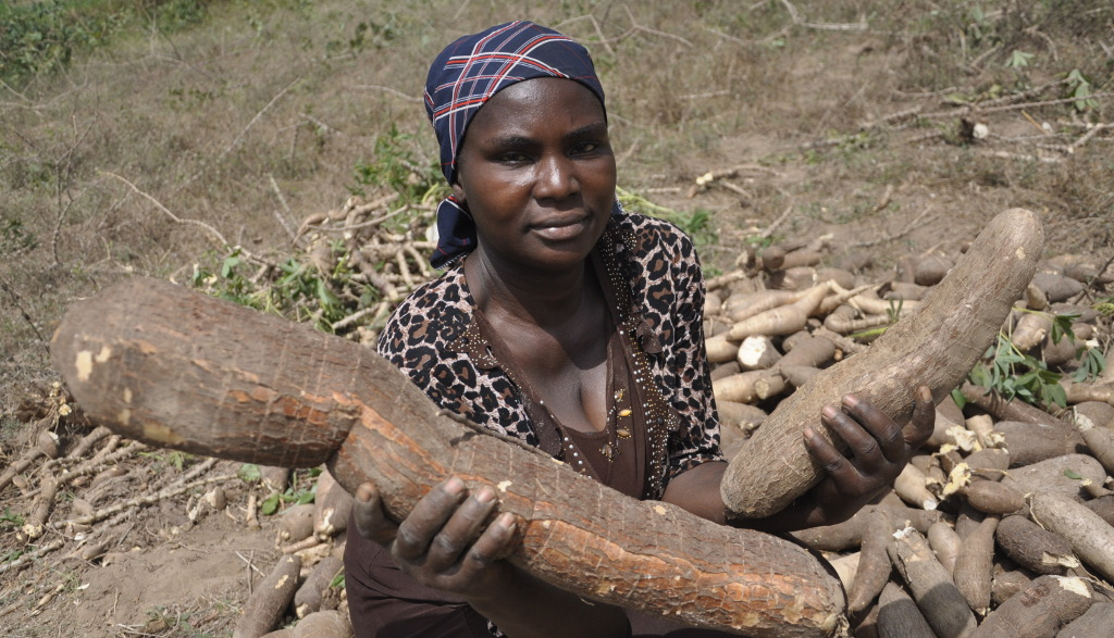 Picture of A happy farmer displays bountiful cassava harvest in Nigeria.