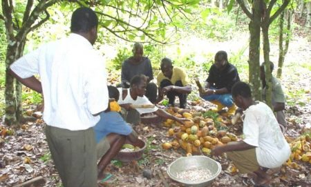 Picture of Cocoa farmers breaking pods