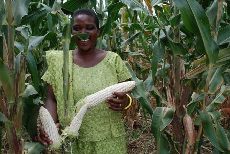Picture of Tanzanian farmer holds drought tolerant maize cobs. Photo credit: F. Sipalla/CIMMYT.