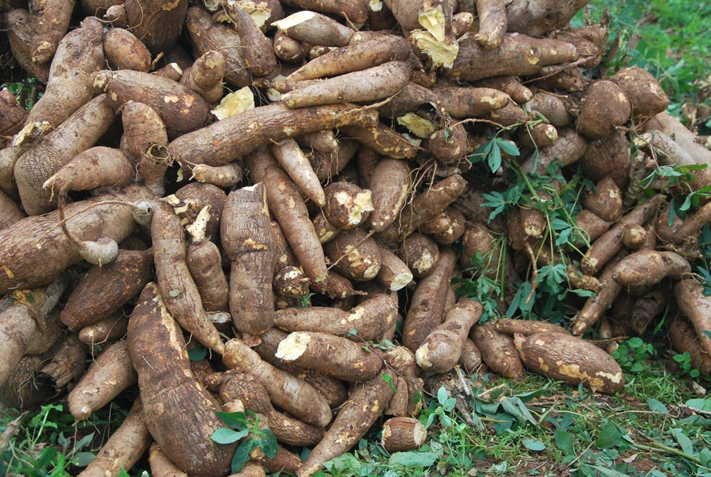 Picture of Cassava roots