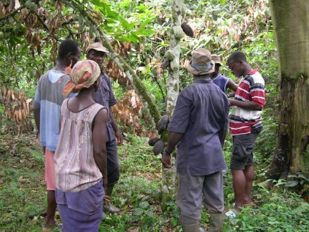 Picture of researchers and cocoa farmers discussing ways of protecting cocoa plants from stresses.