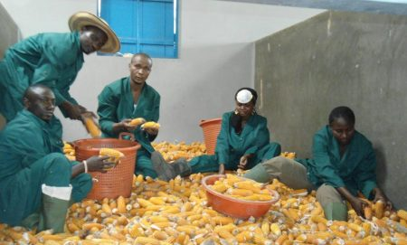 Picture of youths packing maize