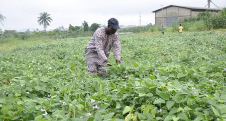 Picture of Researcher inspecting cowpea plants.
