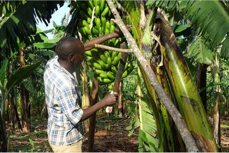 Picture of Rusanganwa in his banana farm in Rukara Sector, Kayonza District. / Jean d'Amour Mbonyinshuti.