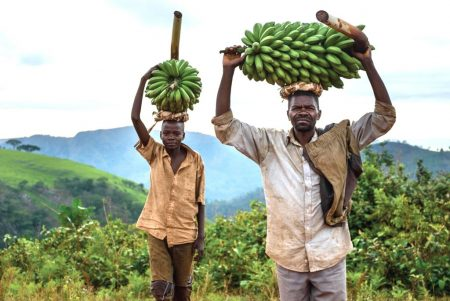 Picture of CIALCA has a legacy of improving banana production in the Central Africa region by improving access to clean planting material, and by advancing banana pest and disease control.