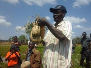 Picture of a government extension agent holds up big OFSP roots harvested from the Mumbas' farm