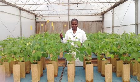 Picture of Amaral Chibeba conducting a greenhouse trial in Brazil.