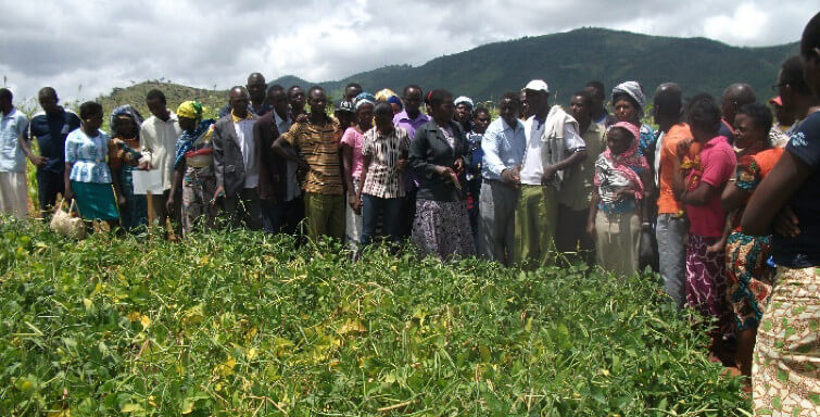 Picture of Farmers evaluating performance of cowpea and fertilizer use.