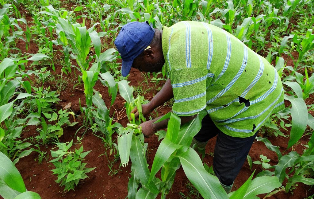 Picture of A maize farmer inspecting crops affected by the FAW pest.