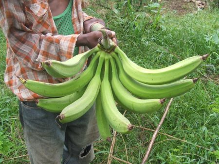 Picture of Horn plantain variety 'Ikpolo Noir' found in DR Congo
