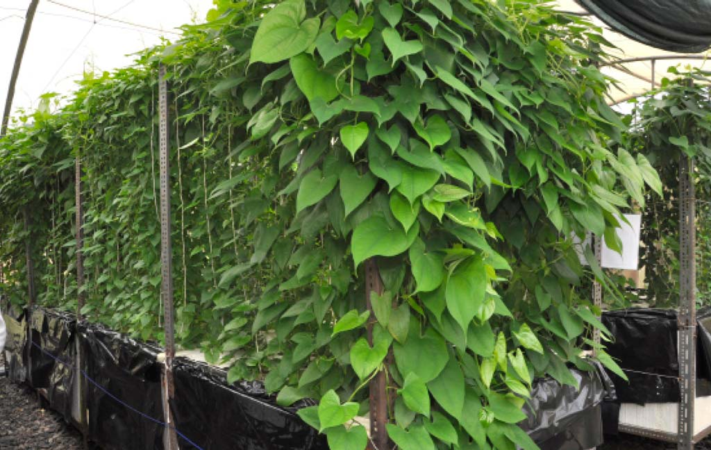 Picture of Growing yam using aeroponics in the greenhouse.