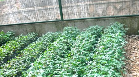 Picture of the Confined Field Trial (CFT) currently being carried out on transgenic cassava