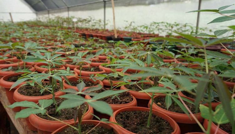 Picture of cassava plantlets.