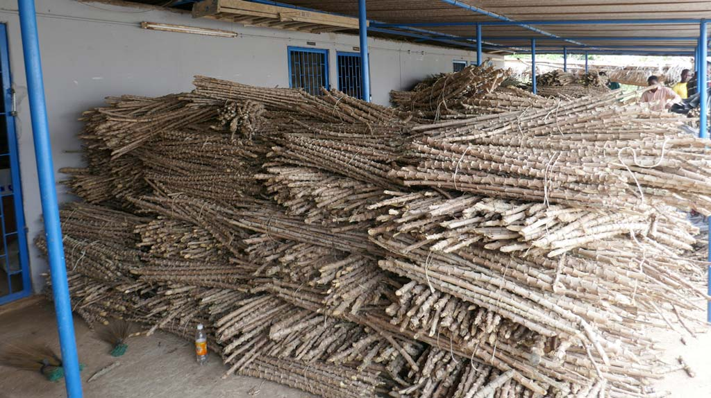 Picture of bundles of improved variety of cassava stems from IITA acquired by Congo-Brazzavile for their new cassava program