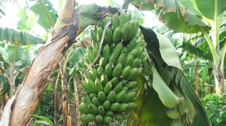 Picture of plantain