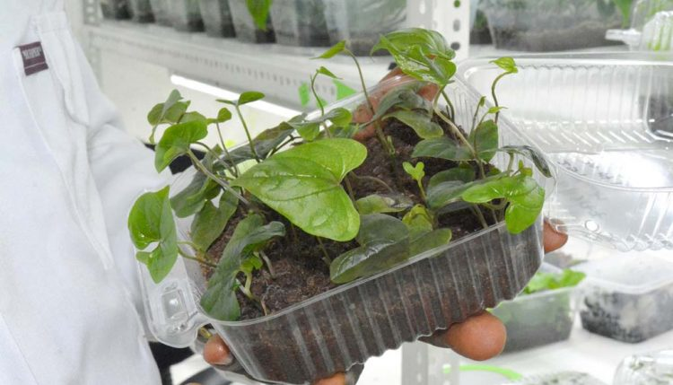 Picture of Yam plantlets.