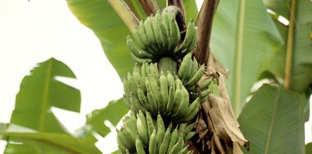 Plantain is an important crop in the economy of Cameroon.