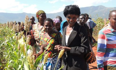 Picture of Farmers looking at the improved sorghum varieties intercropped with cowpea at their demonstration site.