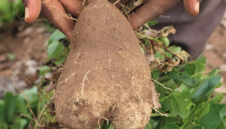 Picture of yam tuber