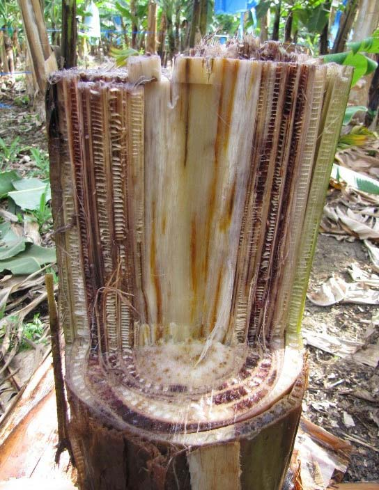Picture of Stump of infected banana tree. Source: Viljoen, 2018.