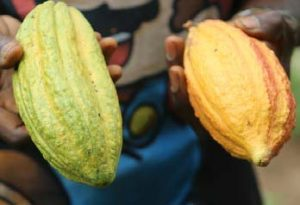 Picture of cocoa fruits.