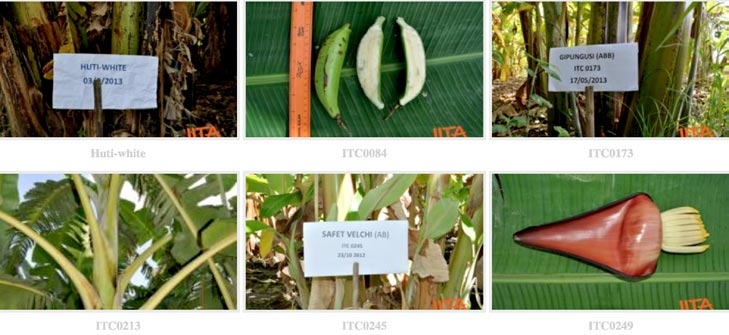 Photos showing the unique morphological traits of various banana and plantain varieties that help in their identification