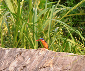Malachite Kingfisher Alcedo cristata, as it scans for prey and predator during the IBC meeting.