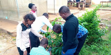 Agriculture extension officers learning how to inspect cassava seeds in the field.
