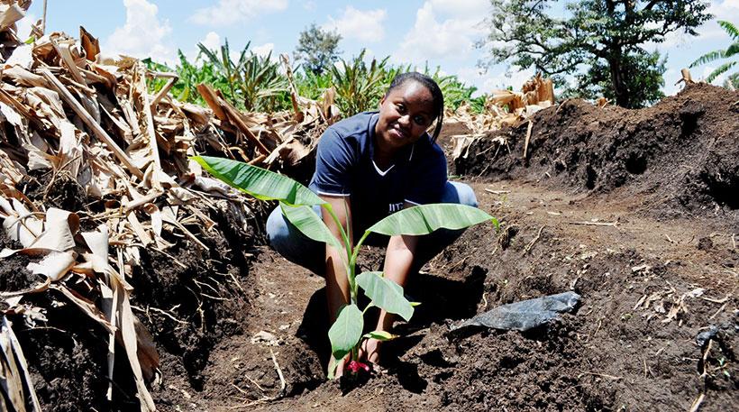 Brigitte Uwimana, IITA Scientist planting a sucker.