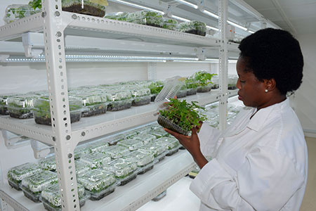 Mercy Diebiru Ojo, IITA Scientist obsesving SAH cassava ready for transplanting.