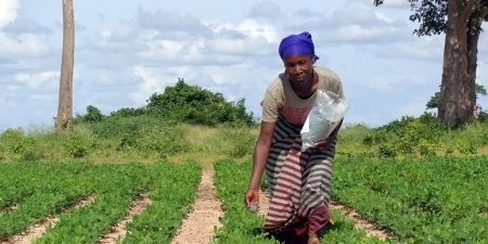 Muacheia Acacio Groundnut farmer applying Aflasafe in Muriaze, Nampula Province, Northern Mozambique, during field efficacy trials conducted during the 2016/2017 cropping season.