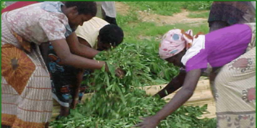 Grace Kamanga from the Department of Agriculture Services (carrying leaves)  and casual workers mixing chopped cassava foliage and roots. Photo credit: Judith Chikoti (DARS)