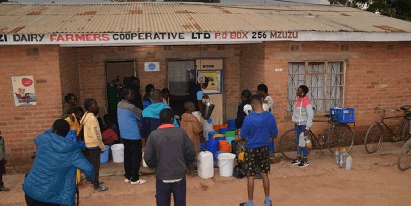 Farmers selling their milk to Lusangadzi Cooperative. Photo credit: Emmanuel Mwale (IITA)