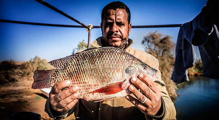 Researchers reveal factors responsible for Tilapia consumption preferences of low-income consumers in Egypt