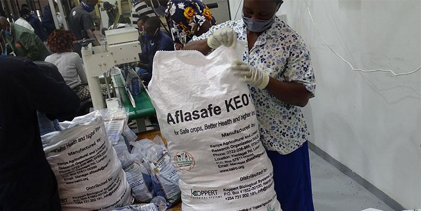 Aflasafe KE01: Biocontrol measure for Aflatoxin