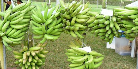 Control of mycotoxin effect in plantain