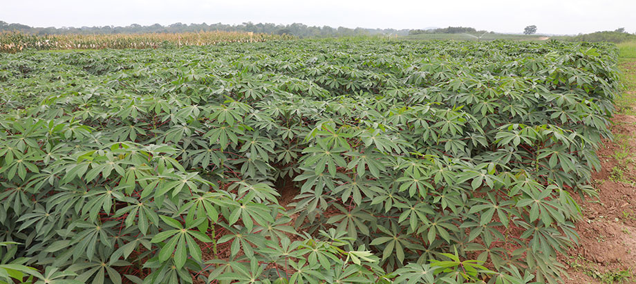 TAAT Cassava Compact: Rebranding the cassava value chain in the Central Africa Republic