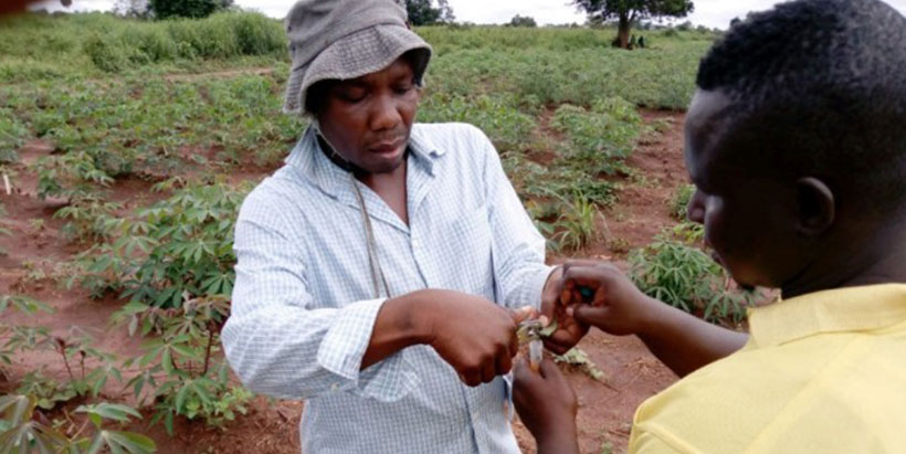 NEXTGEN Cassava breeder receives Cornell Africa Fund Fellowship