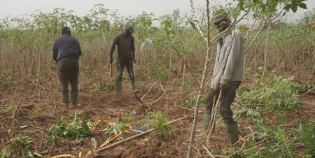 Farmers recount the benefits of AKILIMO in cassava production